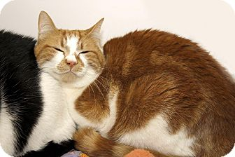 Domestic Shorthair Cat for adoption in Cashiers, North Carolina - Jude