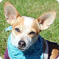 Chihuahua/Jack Russell Terrier Mix Dog for adoption in Fairfax, Virginia - Andy *Adopt*
