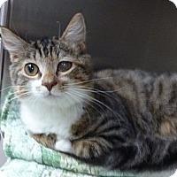 Adopt A Pet :: Good Queen Bess - St. Petersburg, FL