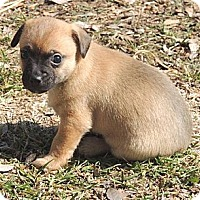 Adopt A Pet :: Bentley - La Habra Heights, CA