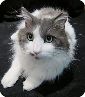 Domestic Longhair Cat for adoption in Edmond, Oklahoma - Yardley