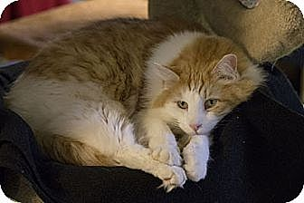 Domestic Longhair Cat for adoption in Lombard, Illinois - Scooge