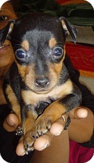 Miniature Pinscher/Corgi Mix Puppy for adoption in Long Beach, California - Pesto