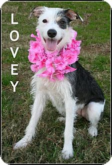Fox Terrier (Wirehaired) Mix Dog for adoption in Houston, Texas - Lovey
