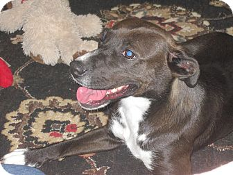 Labrador Retriever/Boxer Mix Dog for adoption in Lima, Pennsylvania - Destiny