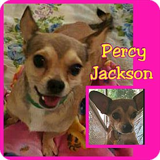 Chihuahua Mix Dog for adoption in Mesa, Arizona - Percy