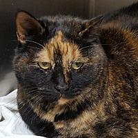 Domestic Shorthair Cat for adoption in Lago Vista, Texas - Sable