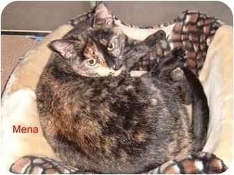 American Shorthair Cat for adoption in Albany, New York - Mena