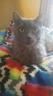 Domestic Mediumhair Cat for adoption in Grand Blanc, Michigan - Victoria