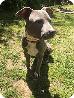Pit Bull Terrier Mix Dog for adoption in Sanford, North Carolina - Sadie