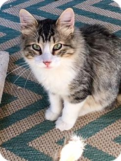 Domestic Shorthair Kitten for adoption in Wichita, Kansas - Liam