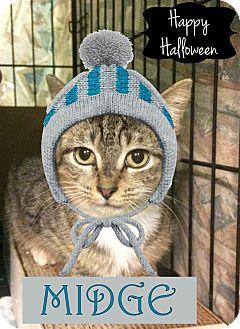 Domestic Shorthair Kitten for adoption in East Brunswick, New Jersey - Midge