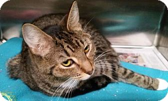 Domestic Shorthair Cat for adoption in Lowell, Massachusetts - Piper
