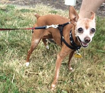 Miniature Pinscher Dog for adoption in Vancouver, Washington - Zoe