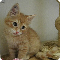 Domestic Longhair Kitten for adoption in Milwaukee, Wisconsin - Nectarine