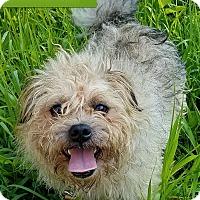 Adopt A Pet :: Scrappy - Cincinnati, OH