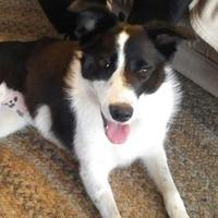 Border Collie Mix Dog for adoption in Athabasca, Alberta - Brie