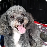 Adopt A Pet :: Beyonce - Oakley, CA