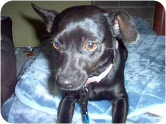 Chihuahua Mix Dog for adoption in Culver City, California - Ebonne
