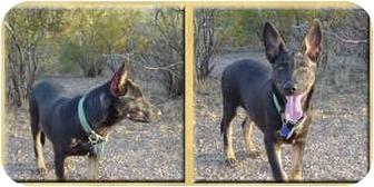 German Shepherd Dog Mix Puppy for adoption in Scottsdale, Arizona - Luca