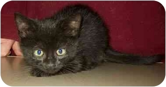 Domestic Mediumhair Kitten for adoption in North Judson, Indiana - Brown Eyes
