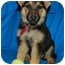 Photo 3 - German Shepherd Dog Puppy for adoption in Los Angeles, California - Harlow von Hamburg