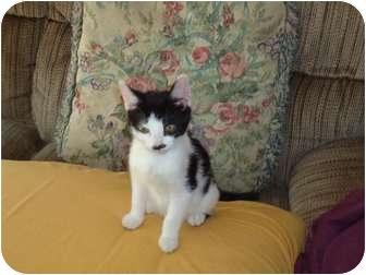 Domestic Shorthair Kitten for adoption in Riverside, Rhode Island - Charlie Glynda's son