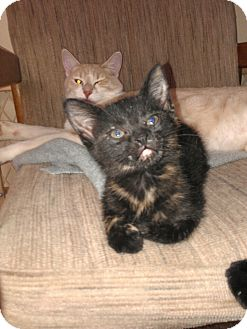 Domestic Shorthair Kitten for adoption in Chandler, Arizona - Suzie