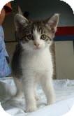Domestic Shorthair Kitten for adoption in Portland, Maine - Bella