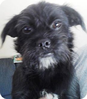 Shih Tzu/Brussels Griffon Mix Puppy for adoption in Oswego, Illinois - I'M ADOPTED Licorice Harnell