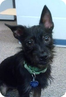 Terrier (Unknown Type, Small) Mix Dog for adoption in Medford, New Jersey - Pepe