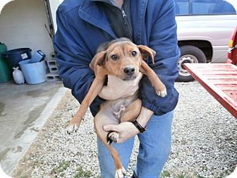 Beagle/Fox Terrier (Smooth) Mix Puppy for adoption in Laingsburg, Michigan - Sookie