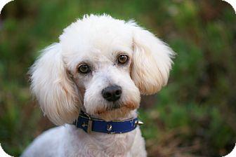 Poodle (Miniature) Dog for adoption in El Cajon, California - ZOKY