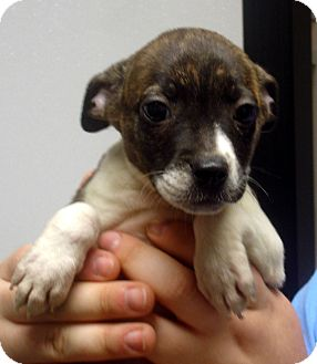 Boston Terrier/Jack Russell Terrier Mix Puppy for adoption in Greencastle, North Carolina - Emeradl