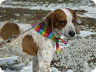 Pointer Mix Puppy for adoption in Buffalo, New York - Jack