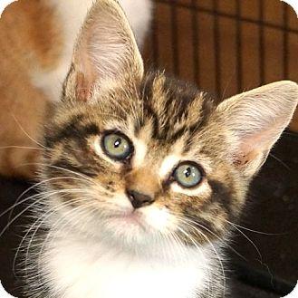 Domestic Shorthair Kitten for adoption in Sprakers, New York - Kindness Kitten female