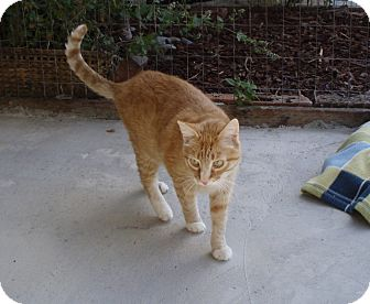 Domestic Shorthair Cat for adoption in Quilcene, Washington - Two-Two