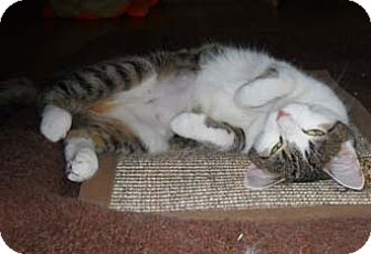 Domestic Shorthair Cat for adoption in Merrifield, Virginia - Dido