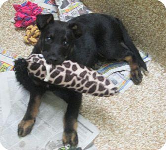 German Shepherd Dog Mix Puppy for adoption in Sonoma, California - Clark