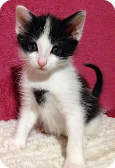 Turkish Van Kitten for adoption in Nashville, Tennessee - Prince Kristoff