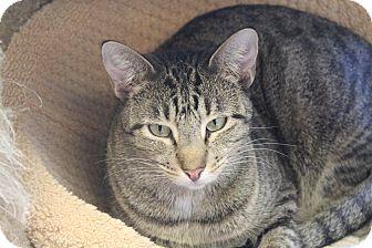 Domestic Shorthair Cat for adoption in Pittsburg, Kansas - Phoebe