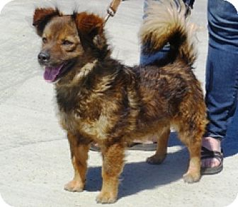 Spitz (Unknown Type, Small) Mix Dog for adoption in Lathrop, California - Luke
