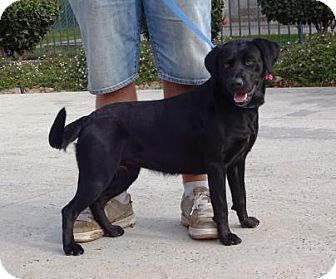 Labrador Retriever Mix Dog for adoption in Lathrop, California - Bailee