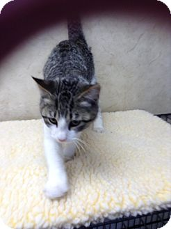 Domestic Mediumhair Kitten for adoption in Lebanon, Missouri - Jax