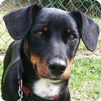 Dachshund Mix Dog for adoption in Houston, Texas - Alannah Donnelly