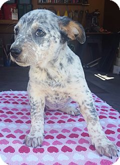 Blue Heeler/Beagle Mix Puppy for adoption in Westport, Connecticut - Frances