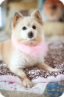 Pomeranian Dog for adoption in Dallas, Texas - Tinkerbell