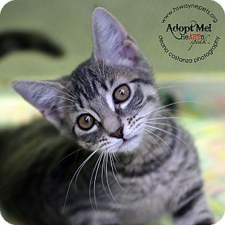 Domestic Shorthair Kitten for adoption in Lyons, New York - Valerie