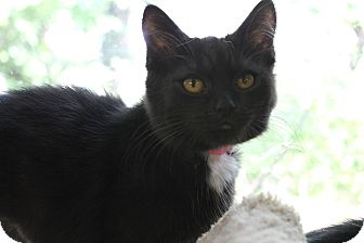 Domestic Shorthair Kitten for adoption in Medina, Ohio - Aly