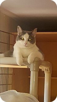 Domestic Shorthair Cat for adoption in Salem, Ohio - Jan